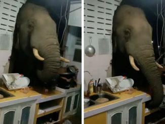 Greedy Elephant Smashes Through a Family's Kitchen Wall To Steal Bag of Rice