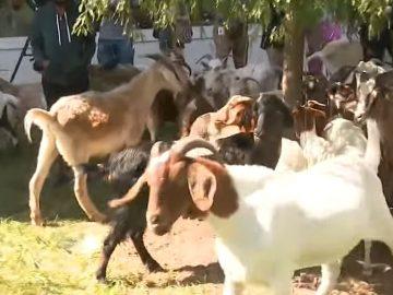 Herd of Goats On The Loose in Upscale Atlanta Neighborhood