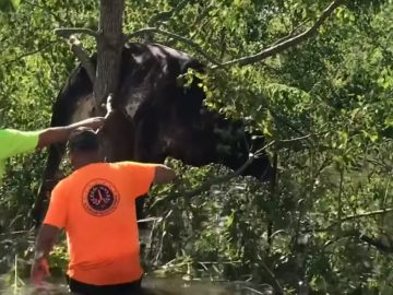Video Shows Cow Being Rescued From Tree Following Flooding Caused by Hurricane Ida